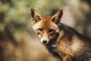 fox-1204003_1280